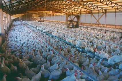 Industrial Chicken Coop
